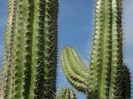 cactus q